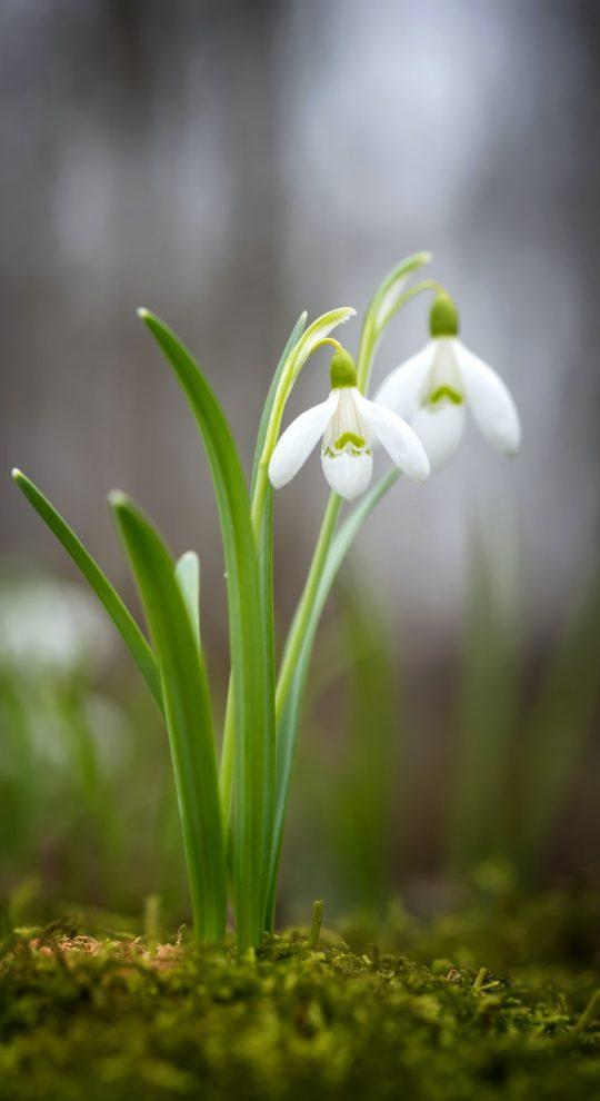 Snowdrop spring flowers